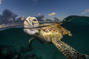 Turks and Caicos Green Sea Turtle