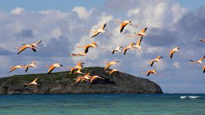 Turks and Caicos flamingoes