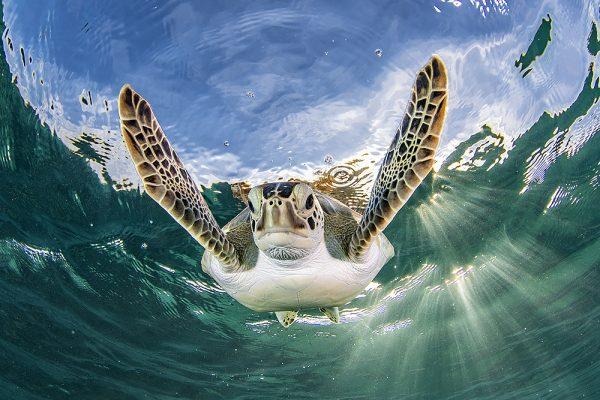 Turks & Caicos turtle