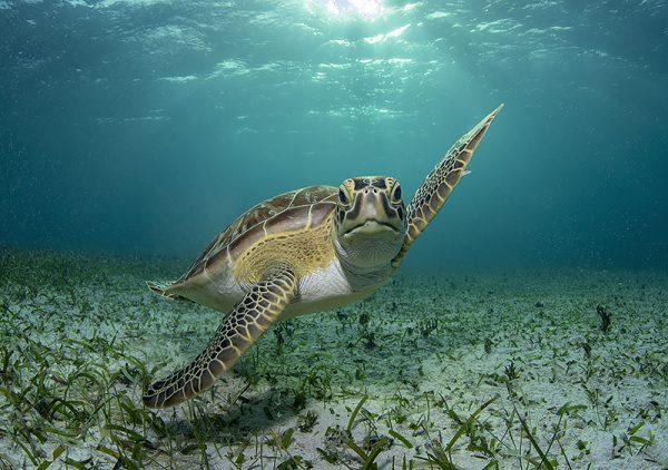 Turks and Caicos sea turtle